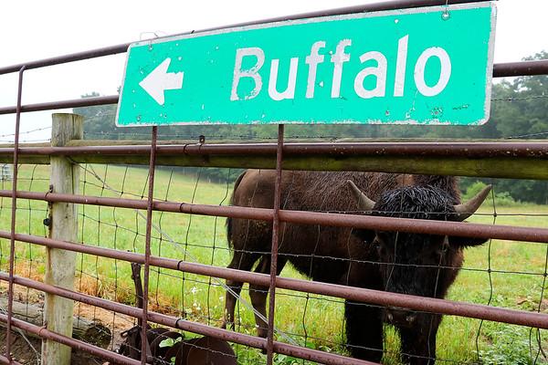 LIZ RIETH | THE GOSHEN NEWS <br /> A bison grazes at Cook's Bison Ranch Wednesday in Wolcottville.
