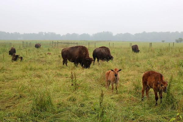 LIZ RIETH | THE GOSHEN NEWS <br /> Bison graze at Cook's Bison Ranch Wednesday in Wolcottville.