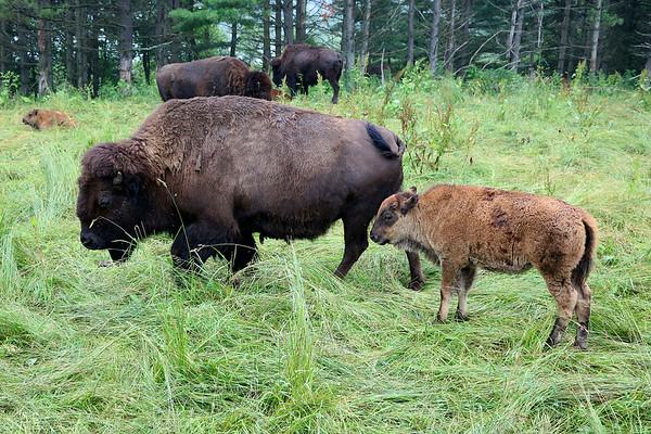 LIZ RIETH | THE GOSHEN NEWS  Bison graze at Cook's Bison Ranch Wednesday in Wolcottville.