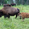 LIZ RIETH | THE GOSHEN NEWS <br /> Bison graze at Cook's Bison Ranch Wednesday in Wolcottville.