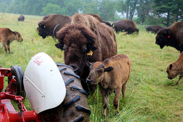 LIZ RIETH | THE GOSHEN NEWS <br /> Bison surround the tractor of Peter Cook, owner of Cook's Bison Ranch Wednesday in Wolcottville.