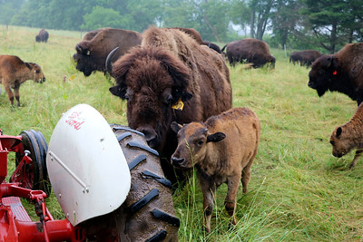 LIZ RIETH | THE GOSHEN NEWS  Bison surround the tractor of Peter Cook, owner of Cook's Bison Ranch Wednesday in Wolcottville.