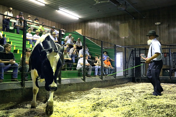 LIZ RIETH | THE GOSHEN NEWS <br /> A cow is sold for beef at the weekly auction Tuesday at Topeka Livestock Auction.