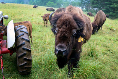 LIZ RIETH | THE GOSHEN NEWS  A bison approaches the tour wagon at Cook's Bison Ranch Wednesday in Wolcottville.