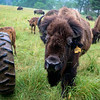 LIZ RIETH | THE GOSHEN NEWS <br /> A bison approaches the tour wagon at Cook's Bison Ranch Wednesday in Wolcottville.