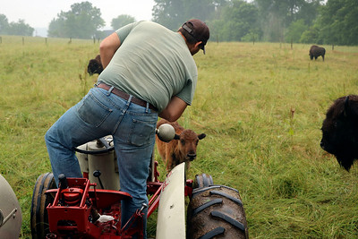 LIZ RIETH | THE GOSHEN NEWS  Peter Cook, owner of Cook's Bison Ranch, shooes a bison away from his tractor Wednesday in Wolcottville.