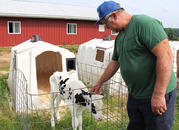 LIZ RIETH   THE GOSHEN NEWS Richard Thomas, owner of Leann Acres said calves are his favorite part about owning a dairy farm.