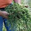 BEN MIKESELL | THE GOSHEN NEWS<br /> Hoosier Custom Ag founder Gerald Miller holds a clump of freshly-cut hay mixed with alfalfa at his farm on C.R. 15 Thursday in Goshen.