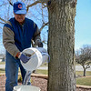 BEN MIKESELL | THE GOSHEN NEWS<br /> Glenn Stutzman dumps extracted sap from the silver maple tree in his front yard Monday while making a batch of syrup at his home on Apple Lane in Goshen. Stutzman noticed his silver maples often yield a bit more syrup than sugar maple trees.
