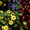 BEN MIKESELL | THE GOSHEN NEWS<br /> Profusion yellow zinnia, blue ageratum and vodka red begonia are used in this year's Quilt Garden at Coppes Commons in Nappanee.