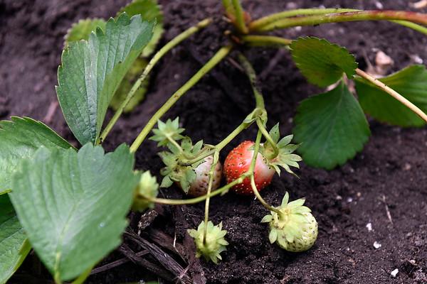 BEN MIKESELL | THE GOSHEN NEWS<br /> Master gardener Connie Garber, plants strawberries Wednesday at her home in Goshen.