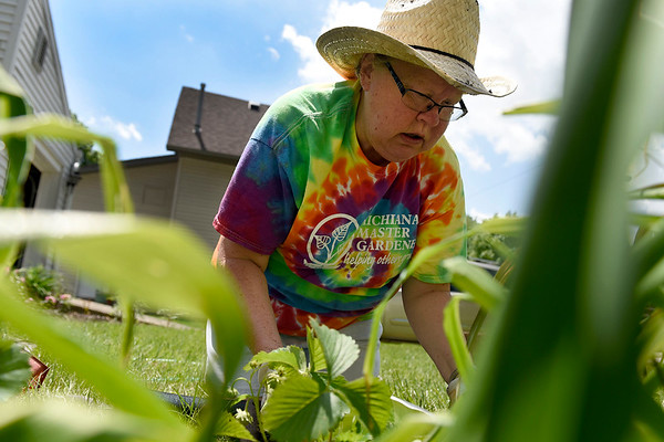 BEN MIKESELL | THE GOSHEN NEWS<br /> Master gardener Connie Garber, plants strawberries Wednesday at her home in Goshen.