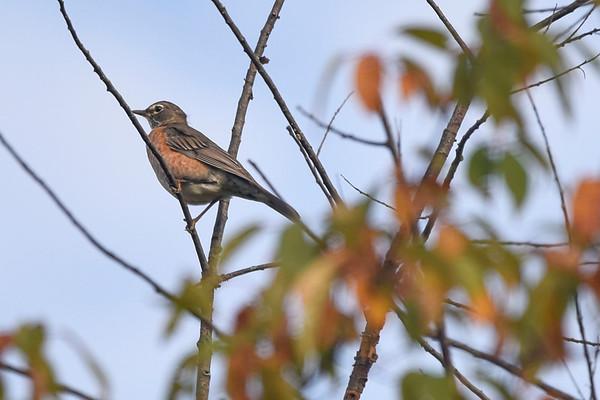 BEN MIKESELL | THE GOSHEN NEWS<br /> A young robin perches itself on a branch during a bird walk Wednesday morning at the Benton Dam River Preserve.