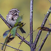 BEN MIKESELL | THE GOSHEN NEWS<br /> A song sparrow sits on a tree branch during a bird walk Wednesday morning at the Benton Dam River Preserve.