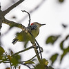 BEN MIKESELL | THE GOSHEN NEWS<br /> A red-bellied sits on a tree branch during a bird walk Wednesday morning at the Benton Dam River Preserve.