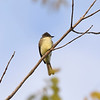 BEN MIKESELL | THE GOSHEN NEWS<br /> An eastern phoebe flycatcher sits on a tree branch during a bird walk Wednesday morning at the Benton Dam River Preserve.