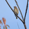 BEN MIKESELL | THE GOSHEN NEWS<br /> A cedar waxwing overlooks the prairie from atop a tree branch Wednesday morning at the Benton Dam River Preserve.