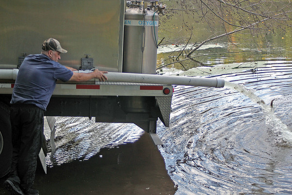 Roger Schneider | The Goshen News<br /> Terry Lauffer of Gollon Bait & Fish, Dodgeville, Wisconsin, relases a stream of young walleye into the Elkhart River Tuesday.