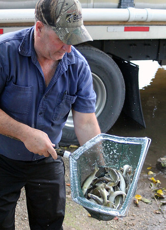 Roger Schneider | The Goshen News<br /> Terry Lauffer of Gollen Bait & Fish of Dodgeville, Wisconsin, holds a net full of young walleye as he prepares to release them into the Elkhart River Tuesday.