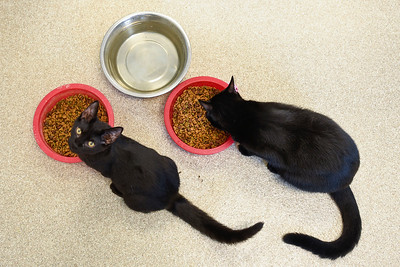 BEN MIKESELL | THE GOSHEN NEWS Two black cats eat from their bowls Thursday afternoon at the Humane Society of Elkhart County.