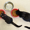 BEN MIKESELL | THE GOSHEN NEWS<br /> Two black cats eat from their bowls Thursday afternoon at the Humane Society of Elkhart County.