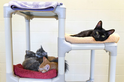 BEN MIKESELL | THE GOSHEN NEWS Four cats rest on a climbing tower Thursday afternoon at the Humane Society of Elkhart County. Once a cat meet and greet room, the shelter had to repurpose the room to house more felines due to the recent influx.