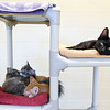 BEN MIKESELL | THE GOSHEN NEWS<br /> Four cats rest on a climbing tower Thursday afternoon at the Humane Society of Elkhart County. Once a cat meet and greet room, the shelter had to repurpose the room to house more felines due to the recent influx.