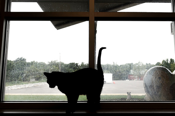 BEN MIKESELL | THE GOSHEN NEWS<br /> A black cat perches on the window sill looking out into the parking lot Thursday afternoon at the Humane Society of Elkhart County.