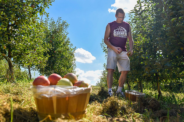 BEN MIKESELL | THE GOSHEN NEWS<br /> Lewis Miller, of Goshen, picks Jonagold apples Monday afternoon at Kercher's Sunrise Orchards in Goshen. Jonagold apples are in-season at the orchard until early October, according to Kercher's.