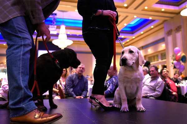 BEN MIKESELL | THE GOSHEN NEWS<br /> Gus, right, sits in the limelight with his brother Archie, as they're walked down the runway with owners Tim and Michelle Markel, of Elkhart, during the Humane Society of Elkhart County's Best in Show fundraiser Thursday night at the Lerner Theatre.
