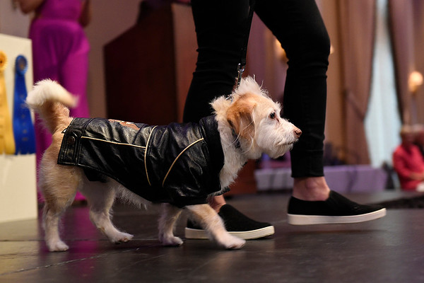 BEN MIKESELL | THE GOSHEN NEWS<br /> Louie, a seven-year-old dog owned by Joe Stiglitz and Emily Welch-Stiglitz, Goshen, walks down the runway during the Humane Society of Elkhart County's Best in Show fundraiser Thursday night at the Lerner Theatre.