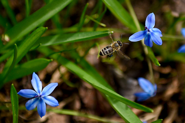 BEN MIKESELL | THE GOSHEN NEWS<br /> A bee flies between Siberian squill flowers Thursday afternoon at DeFries Gardens in New Paris.