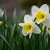 BEN MIKESELL | THE GOSHEN NEWS<br /> Daffodils grow in the April section of the calendar garden at DeFries Gardens in New Paris.