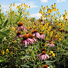 CAMDEN CHAFFEE | THE GOSHEN NEWS<br /> Cone flowers such as these make up a sizeable portion of the Greencroft Goshen prairie that lies on the east side of the Greencroft campus.
