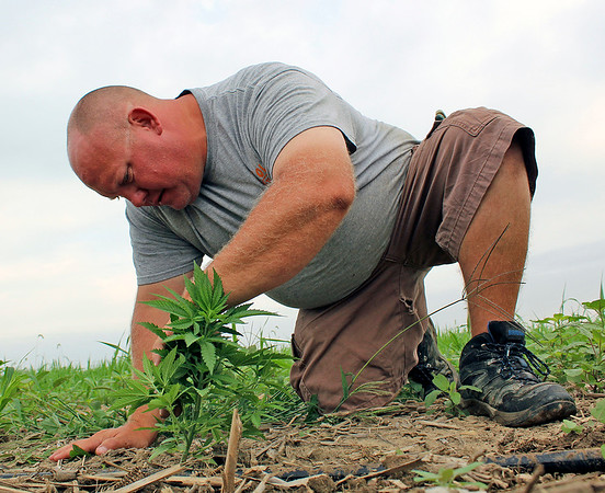 Camden Chaffee | The Goshen News<br /> Aaron Rink checks one of the hemp plants  being grown by a group of four farmers in the New Paris and Millersburg areas.