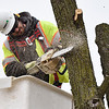 BEN MIKESELL | THE GOSHEN NEWS<br /> Dan Sutton, Plymouth, with Davey Tree Expert Company, cuts down a tree Tuesday morning along Kercher Road, near the intersection of U.S. 33 in Goshen. This tree needed to be removed in order to continue planned expansions of Kercher Road.