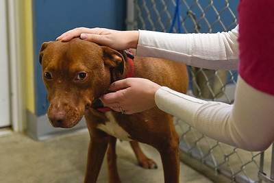 BEN MIKESELL | THE GOSHEN NEWS Volunteer Andrea Muir pets Red, a dog who has been at New Hope Animal Rescue for more than a year. Red is one of two dogs currently at the shelter in Syracuse.