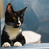 BEN MIKESELL | THE GOSHEN NEWS<br /> Gristle, a five-month-old kitten, watches people pass by the window Thursday at New Hope Animal Rescue.