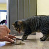 BEN MIKESELL | THE GOSHEN NEWS<br /> Caspian watches volunteer Teri Jarrette, of Warsaw, scoop out food for the rest of the cats Thursday at New Hope Animal Rescue.