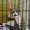 BEN MIKESELL | THE GOSHEN NEWS<br /> Hazel, a cat who just had kittens, meows for attention Thursday at New Hope Animal Rescue.