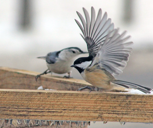 Roger Schneider | The Goshen News<br /> A black-capped chickadee lands at a bird feeder in west Goshen Monday while a white-breasted nuthatch watches in the background. The two species of birds were among the 82 species discovered living in Elkhart County during the annual Elkhart County Parks Department bird count held Jan. 5. Seventy-three bird watchers counted 18,647 birds, according to numbers supplied by the parks department. The most populous bird found was an invasive species, the European starling, at 5,332 birds. Counters found just one bird of several species, including a gadwall, blue-winged teal, lesser scaup, common loon, glaucous gull, rough legged hawk and a long-eared owl.