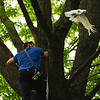 BEN MIKESELL | THE GOSHEN NEWS<br /> Cheeto, a ten-year-old cockatoo, flies off the shoulder of a Millersburg-Clinton firefighter during a rescue attempt Tuesday afternoon in Millersburg. Firefighters climbed trees to help the Scott Reinhart's pet parrot, which flew out of his car after being scared at a gas station across the street Monday.