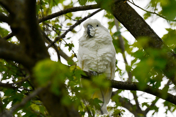 BEN MIKESELL | THE GOSHEN NEWS<br /> A cockatoo belonging to Scott Reinhart rests in a tree Tuesday morning near Ind. 13 in Millersburg. The bird was spooked by a noise and flew away while Reinhart was filling up gas across the street.