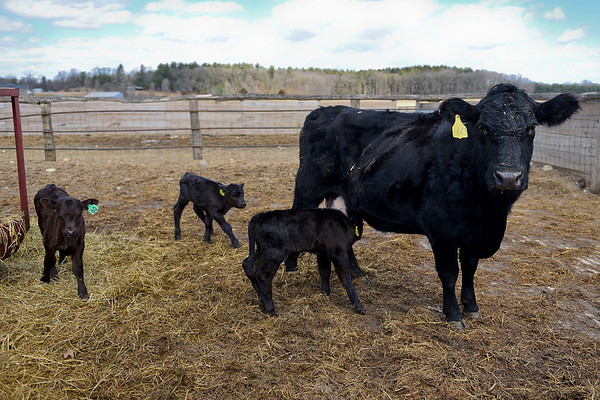 "BEN MIKESELL | THE GOSHEN NEWS<br /> A beef cow stands in a pen with her three calves, two bulls and one heifer, Monday afternoon at Bob Yoder's farm at 6445 N 115 W near Shipshewana. ""We actually thought it was twins,"" farmhand Kyle Oberlin said, ""but we came out the next morning and there was another."" The calves were born last week and are all healthy, he said. The probability of a beef cattle having triplets is around 1 in 100,000, Purdue Extension of Elkhart County director Robert Kelly said."