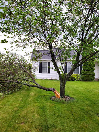 GEORGE OLIVO | CONTRIBUTED<br /> George Olivo shared this photo of a tree split at his parents' home in the Colonial Manor subdivision, 1020 Eagle Drive, Goshen, Thursday.<br /> Olivo's mother Laura thought she heard a thunder bolt strike nearby before the tree was found damaged.