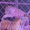 Joseph Weiser | The Goshen News<br /> A Siberian tiger performing its act with the King of the Ring during the Shipshewana Majestic: The Circus at the Michiana Entertainment Center on Monday. The Circus will be performed from Monday, October 28 through Saturday, November 2nd.