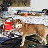 A husky named Mary stands tethered on a trailer bed, watching dogs and their owners learn about mushing as part of the second annual Mushing 101 event by the Heartland Mushers Assoc. at River Preserve County Park along C.R. 31 near Benton Saturday.