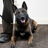 Joseph Weiser | The Goshen News<br /> Elkhart County Sheriff newest K9 Polaris lays on the floor before the presentation ceremony at Bennington Marine in Elkhart Monday. Bennington Marine, Godfrey, and Hurricane of Polaris covered the cost of the Polaris to a tune of $6,500.