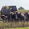 Joseph Weiser | The Goshen News<br /> Amish farms harvesting his corn crop on Tuesday utilizing his work horses.