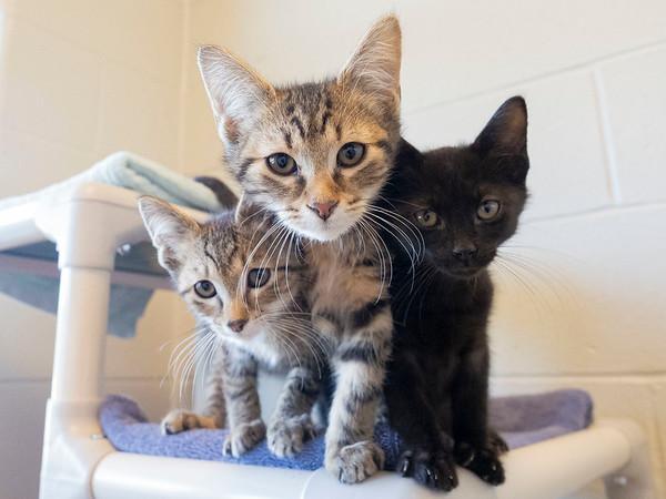 Joseph Weiser   The Goshen News<br /> Baby kittens awaiting adoption at the Elkhart County Humane Society on Monday.